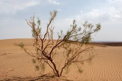 Single tamarix tree in Dasht-e Kavir desert, Iran. Stock Photo