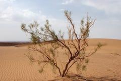 Single tamarix tree in Dasht-e Kavir desert, Iran. Version 2 Stock Photography