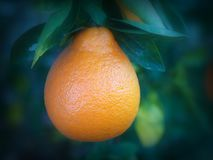 A Single Tangelo hanging from a living citrus tree Royalty Free Stock Photography