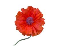 Single terry red poppy isolated on white Stock Photos