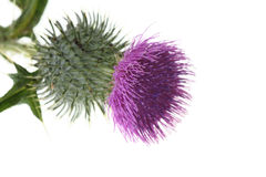 Single Thistle Flower Isolated Royalty Free Stock Images