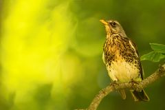 Single thrush bird sits on branch. Horizontal photo with single thrush bird which sits on a branch with few leaves. Animal is in front of green blurred Royalty Free Stock Photos