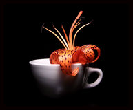 Single tiger lily in a cup Royalty Free Stock Photography