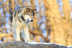 Single timber wolf with golden background Stock Photo