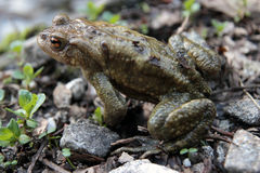 Single toad. Single male toad in natural environment Stock Photos