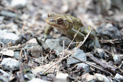 Single toad DOF. Single male toad in natural environment, Shallow DOF Royalty Free Stock Photos