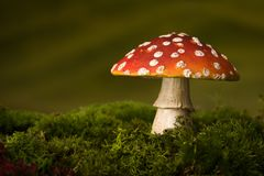 Single toadstool on moss royalty free stock images