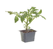 Single tomato seedling isolated against white Royalty Free Stock Photo