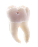 Single tooth isolated on white stock photo