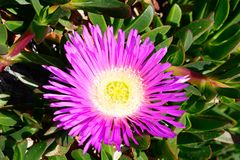 Single trailing ice plant flower, Malta. Royalty Free Stock Photo