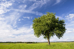 Single tree Royalty Free Stock Photo