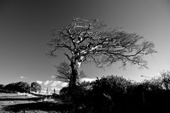 Single tree. A single tree on a windswept hillside in black and white Royalty Free Stock Images