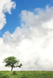 Single tree. Before storm, on the clouds background Stock Photography