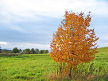 Single Tree. With beautiful orange leaves and storm clouds in the background Royalty Free Stock Photo