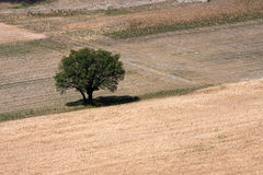 Single tree. A single tree on a barren field in the full sunshine Stock Images