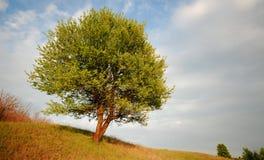 Single tree Royalty Free Stock Photography