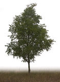 Single tree Royalty Free Stock Photos