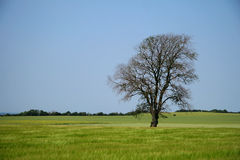 Single tree. Tree in a meadow royalty free stock image
