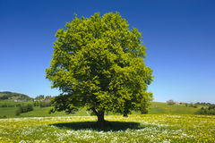Single tree. Single beech tree at springtime stock photos