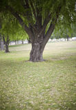 Single tree. Front View of Single Tree surrounded by grass in park Stock Image