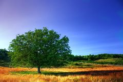 Single tree. High dynamic range image of a single tree un a meadow under clear blue sky Royalty Free Stock Image