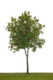 Single tree. Isolated on white background Stock Photo