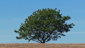 Single Tree Against Blue Sky stock footage