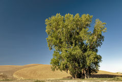 Single tree against a blue sky in a wheat field Stock Images