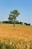 Single tree in agricultural field Royalty Free Stock Photos