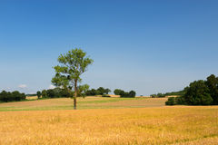 Single tree in agricultural field Royalty Free Stock Images
