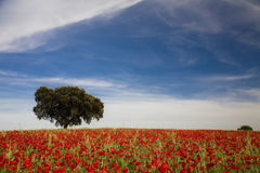 Single Tree And Poppies Landscape Stock Photography