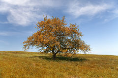 Single tree in autumn with blue sky Royalty Free Stock Images