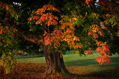 single tree autumn leaves Stock Photography