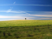 Single tree in barley field. A single, lone tree standing by itself in the middle of a green, wide open barley field.  Australia Royalty Free Stock Photography