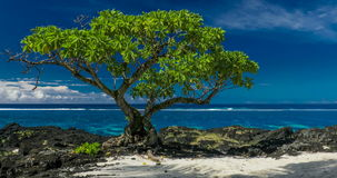Single tree on a beach with black lava rocks on Upolu, Samoa. Islands stock footage