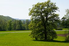 Single tree big oak growing on meadow royalty free stock images