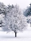 A single tree branches covered snow royalty free stock photo