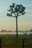 Single Tree of Brazil Nuts. In the middle of a pasture in Brazilian Amazonia stock photography