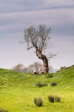 Single tree at Brough Castle Stock Photography