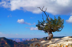 A single tree on the cliff of the Grand Canyon. Over the blue sky Royalty Free Stock Photography