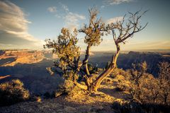 A tree clings on for life in the desert of the Grand Canyon national park. A single tree clings on for life in the Grand Canyon national park in Arizona stock photo