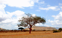 Single tree with cloudy sky in Africa. A single tree with a cloudy sky in a African national park royalty free stock photos