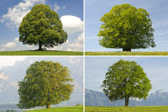 Single tree collage. Single tree set collage with beech and lime royalty free stock photography