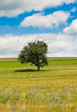 Single Tree in a corn flower field Royalty Free Stock Image