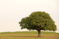 Single tree in countryside. Scenic view of single tree in countryside field Royalty Free Stock Photography
