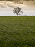Single tree countryside field. Tree in staffordshire countryside england uk field and storm clouds Royalty Free Stock Photography