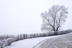 Single tree covered in rime in winter season Stock Photo