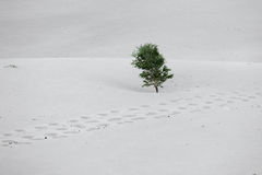 Single tree in desert Royalty Free Stock Photography