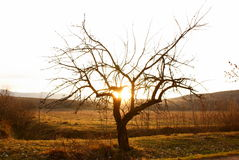 Single tree in desert in sunset time stock photography