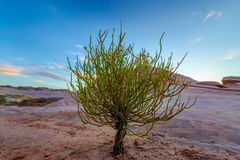 Single Tree on a Desert Valley of Fire State Park Nevada Royalty Free Stock Images